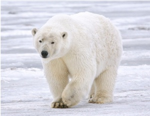 Ursus maritimus - once believed to be facing a decline in population.  On TV every time Al Gore farts.